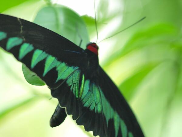 マレーシア国蝶