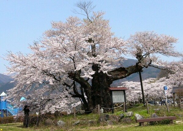 さかさ桜 その後