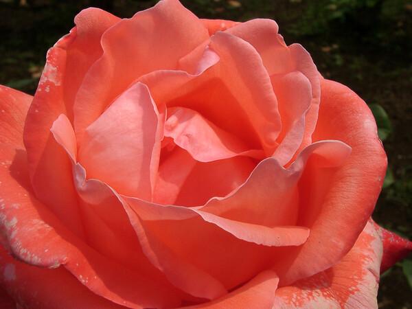 ★09春バラ・セレクション-65