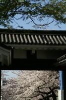 桜に酔う(2)