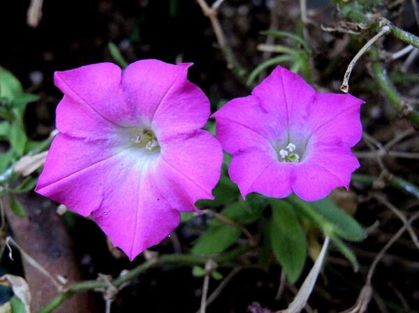 サフィニア ピンク色
