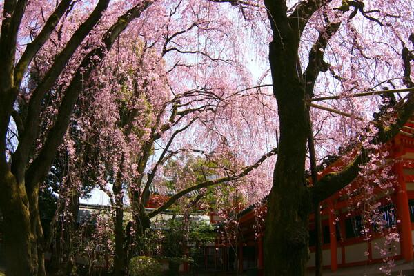 【穏やかに〜春】平安神宮の紅八重枝垂れ