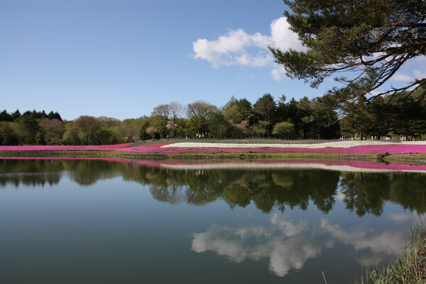 雲と芝桜の映り込み