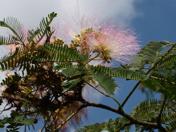 合歓木の花・砧公園